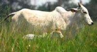 La cría de ganado -